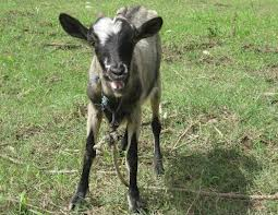 Goats for Families
